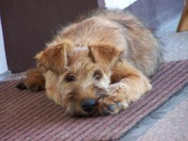 Irish-Terrier Welpen