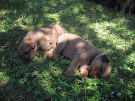 Irish Terrier Welpen
