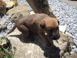 Foto 3 Irish Terrier Welpen