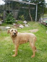 Irish Terrier Welpen FCI