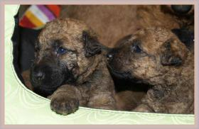 Irish Terrier Welpen mit Papiere zu verkaufen