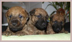 Foto 2 Irish Terrier Welpen mit Papiere zu verkaufen