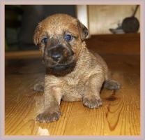 Foto 3 Irish Terrier Welpen mit Papiere zu verkaufen