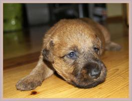 Foto 4 Irish Terrier Welpen mit Papiere zu verkaufen