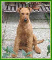 Foto 5 Irish Terrier Welpen mit Papiere zu verkaufen