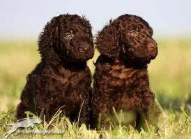 Irish Water Spaniel (Irischer Wasserhund)