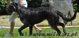 Foto 2 Irish Wolfhound