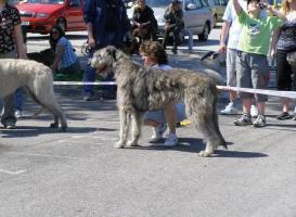 Foto 2 Irish Wolfhound