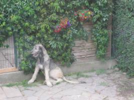 Irish Wolfhound Junghündin
