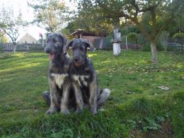 Irish Wolfhound Welpe