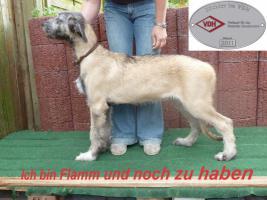 Irish Wolfhound Welpen