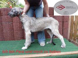 Foto 2 Irish Wolfhound Welpen