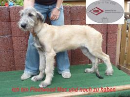 Foto 3 Irish Wolfhound Welpen