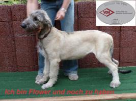 Foto 4 Irish Wolfhound Welpen