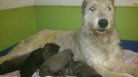 Foto 2 Irish Wolfhound Welpen in creme und weiß m.P.