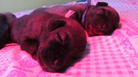 Foto 3 Irish Wolfhound Welpen in creme und weiß m.P.