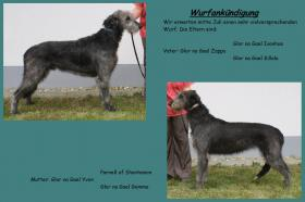 Irish Wolfhound Welpen - Wurfankündigung