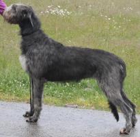 Foto 2 Irish Wolfhound Welpen - Wurfankündigung