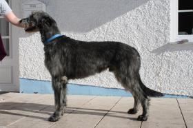 Foto 3 Irish Wolfhound Welpen - Wurfankündigung