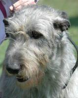 Irish Wolfhound - Welpen mit Stammbaum