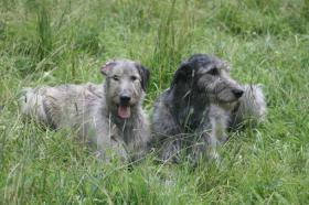 Foto 2 Irish Wolfhoundwelpen