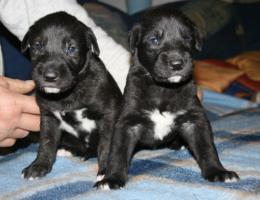Foto 4 Irish Wolfhoundwelpen