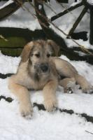 Foto 5 Irish Wolfhoundwelpen