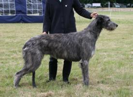 Foto 6 Irish Wolfhoundwelpen