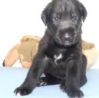 Irish Wolfhoundwelpen aus Spitzenverpaarung in seltenem lackschwarz abzugeben