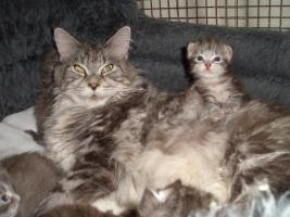 ** Iron Hawk's ** Knuffige Maine Coon Kitten