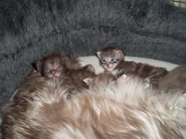 Foto 2 ** Iron Hawk's ** Knuffige Maine Coon Kitten