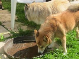 Foto 3 Islandhunde
