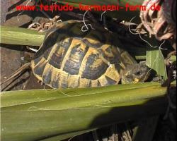 Foto 3 Italienische Landschildkröten Testudo hermanni hermanni NZ 2012