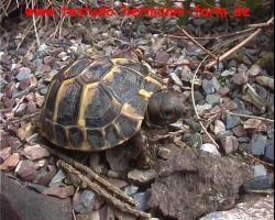 Foto 4 Italienische Landschildkröten Testudo hermanni hermanni NZ 2012