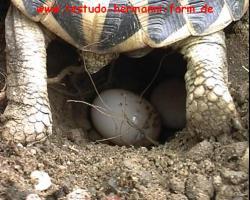 Foto 2 Italienische Landschildkröten Testudo hermanni hermanni NZ 2017