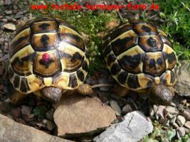 Foto 5 Italienische Landschildkröten Testudo hermanni hermanni NZ 2017