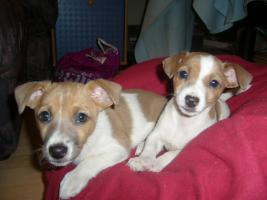 Jack Russel Mix