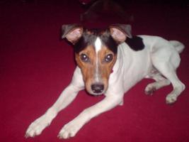 Jack Russel Parson Terrier