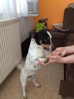 Foto 3 Jack Russel Terrier