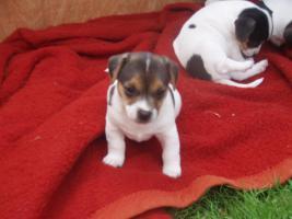 Foto 2 Jack Russel Terrier