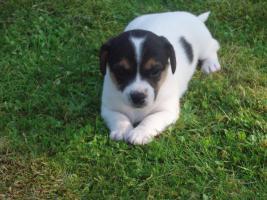 Foto 4 Jack Russel Terrier