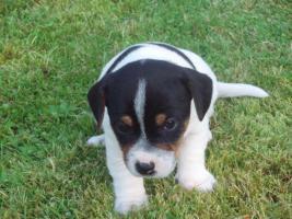 Foto 5 Jack Russel Terrier