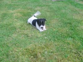 Foto 7 Jack Russel Terrier