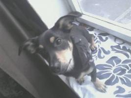 Foto 2 Jack Russel Terrier 9 monate alt