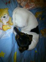 Jack Russel Terrier Dame sucht dringend neues Heim