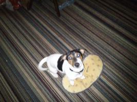 Foto 2 Jack Russel Terrier Dame sucht dringend neues Heim