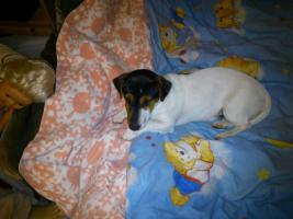 Foto 3 Jack Russel Terrier Dame sucht dringend neues Heim