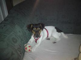 Foto 2 Jack Russel Terrier Hündin