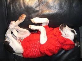 Foto 3 Jack Russel Terrier Hündin sucht neues liebevolles Zuhause  ''22 Wochen alt''