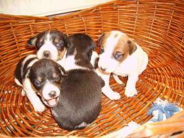 Foto 2 Jack Russel Terrier Welpen